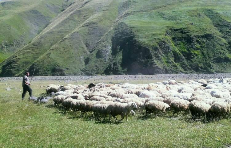 In den Sommermonaten sind im Grossen Kaukasus viele Schafherden anzutreffen